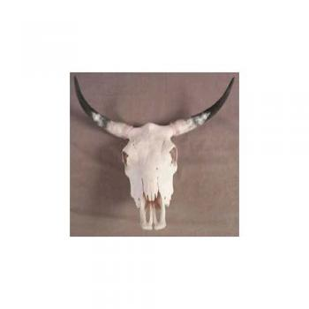 Steer Skull with real horn