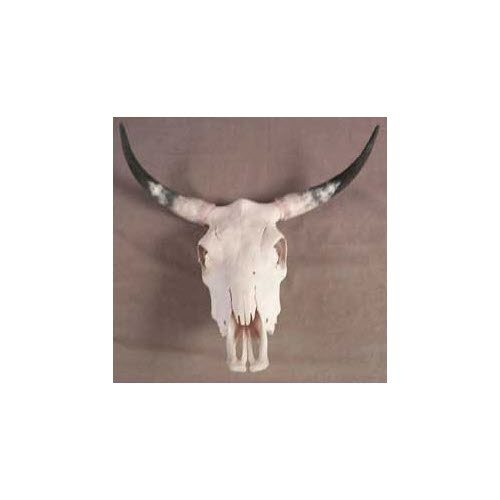 Steer Skull with real horn - Click Image to Close